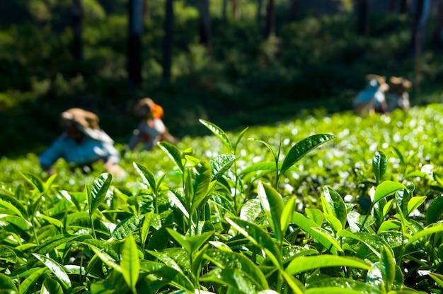 Recolectores de té trabajando en kerela india.