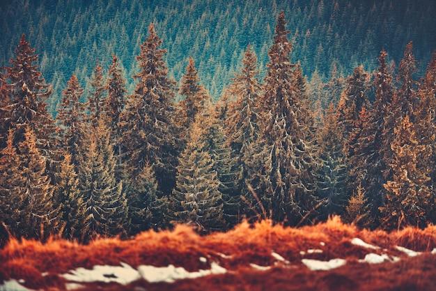 Recta hileras de pinos. montes de cárpatos. ucrania.
