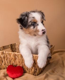 Red merle pastor australiano cachorro en una cesta