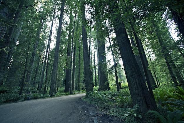 Redwood forestal