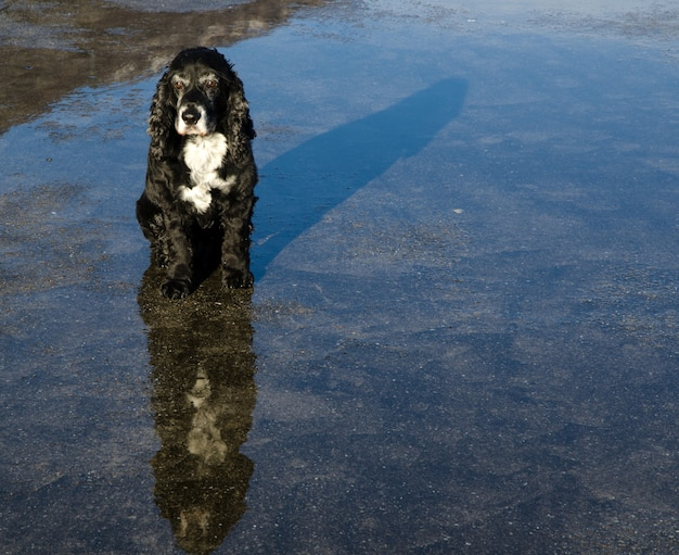 Reflejo de un perro blanco y negro en el agua sobre el asfalto