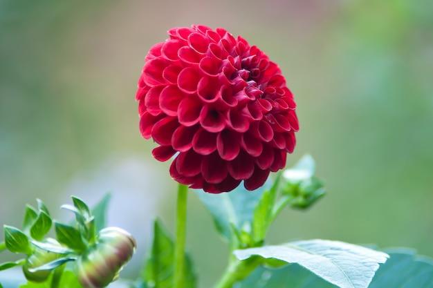 Regalo de flores de san valentín. dalia roja en el jardín
