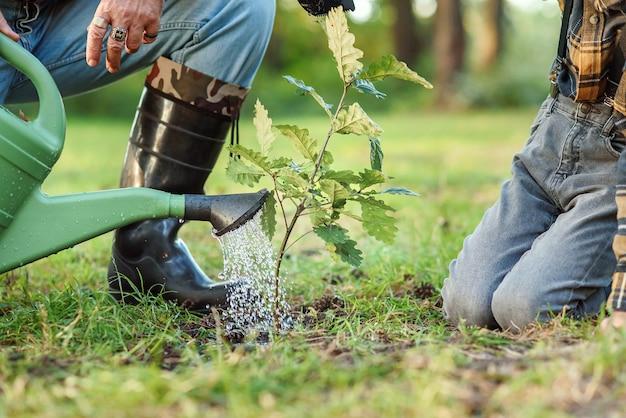 Regar un árbol joven de roble recién plantado en el suelo entre otros árboles del bosque. guarde el concepto de naturaleza.