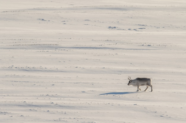 El reno salvaje de svalbard, rangifer tarandus platyrhynchus, caminando solo en la vasta tundra. svalbard, noruega.
