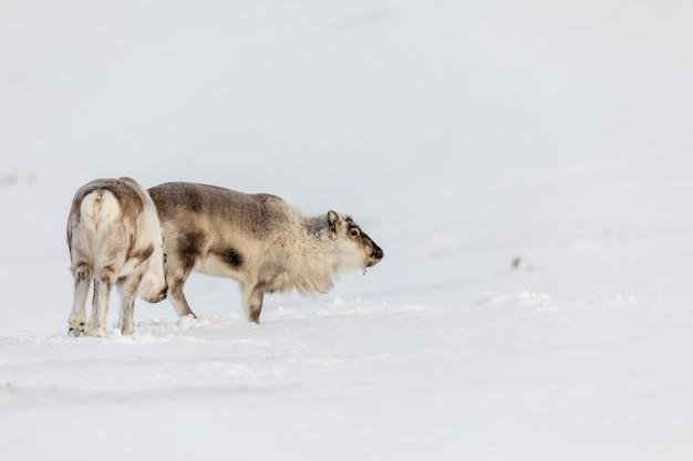 El reno salvaje de svalbard, rangifer tarandus platyrhynchus, dos animales de pie en la nieve en el desierto en svalbard, noruega