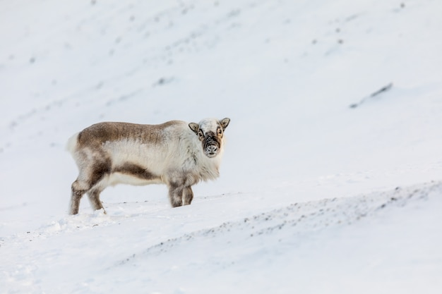 El reno salvaje de svalbard, rangifer tarandus platyrhynchus, de pie en la nieve.