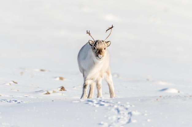 El reno salvaje de svalbard, rangifer tarandus platyrhynchus, retrato de un animal curioso con pequeñas cornamentas en svalbard, noruega.
