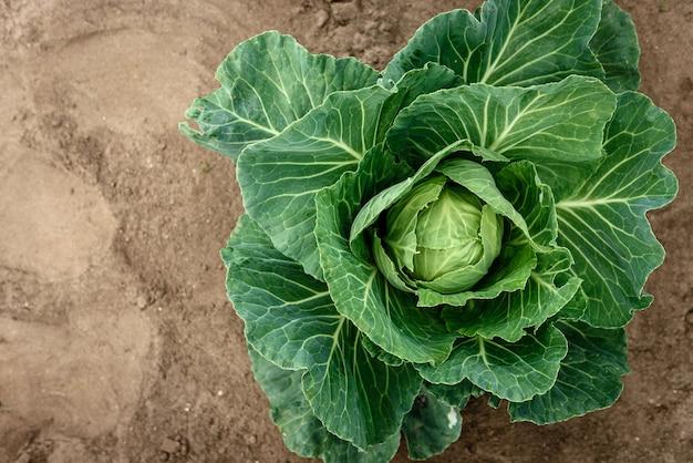Repollo fresco que crece en el jardín. cosecha de repollo.