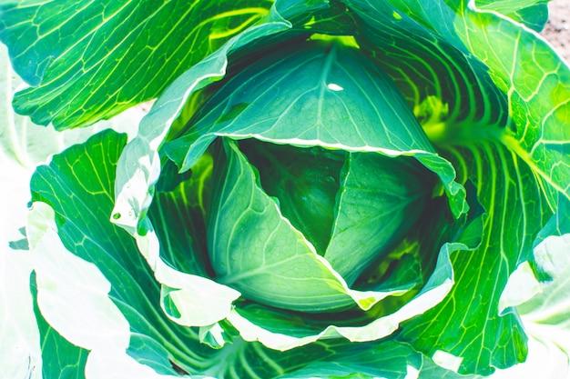 Repollo verde fresco que crece en la granja de vegetales. comida orgánica natural