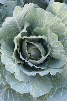 Repollo verde madurando cabeza creciendo en granja de vegetales