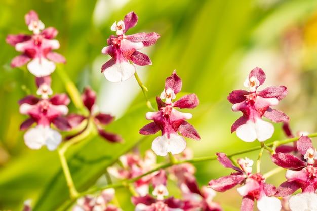 Resuma el fondo borroso de la orquídea marrón y blanca, oncidium.