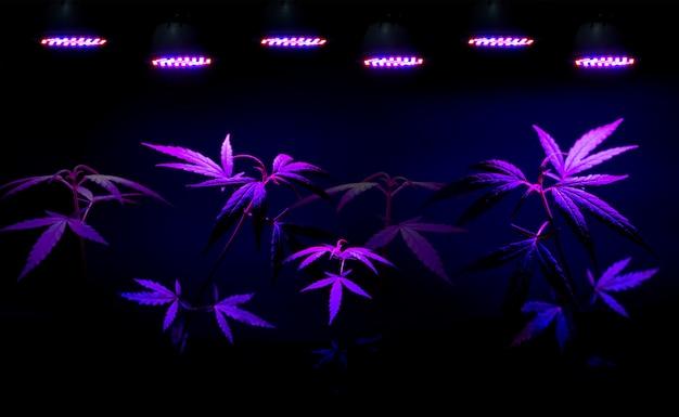 Retoño de plantas de cannabis que crece en maceta con luz de crecimiento led