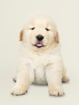Retrato de un adorable cachorro de golden retriever