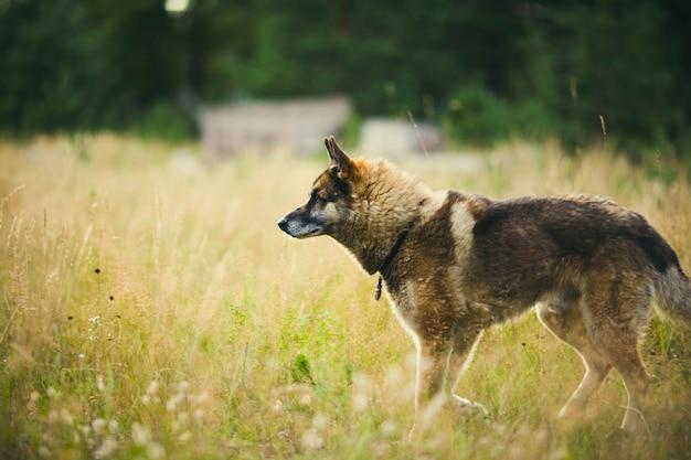Retrato de un adulto y un perro muy inteligente en la naturaleza. pastor mixto y husky.