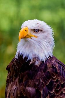 Retrato de un águila calva en la naturaleza