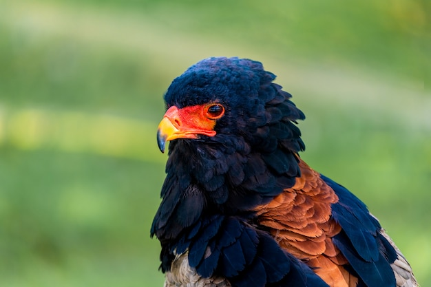 Retrato de un águila subsahariana