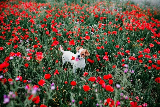 Retrato al aire libre de un hermoso jack russell de pie en un campo de amapolas