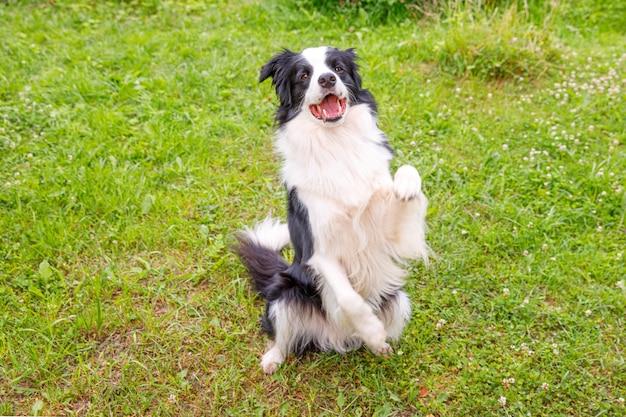 Retrato al aire libre de lindo border collie cachorro sonriente sentado en el césped