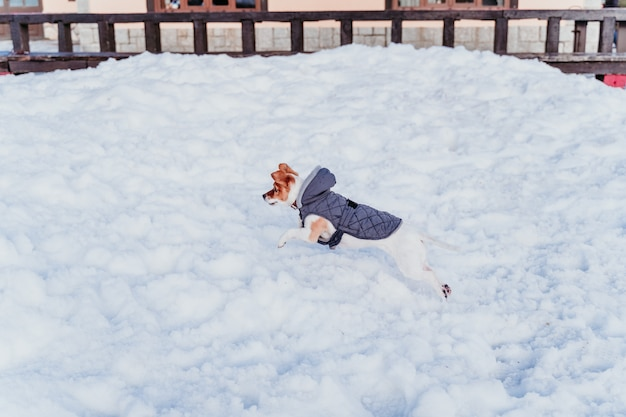 Retrato al aire libre de un perro hermoso de jack russell que juega y que corre en la nieve. temporada de invierno