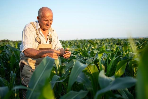 Retrato de alto trabajador agrónomo agricultor en campo de maíz control de cultivos antes de la cosecha