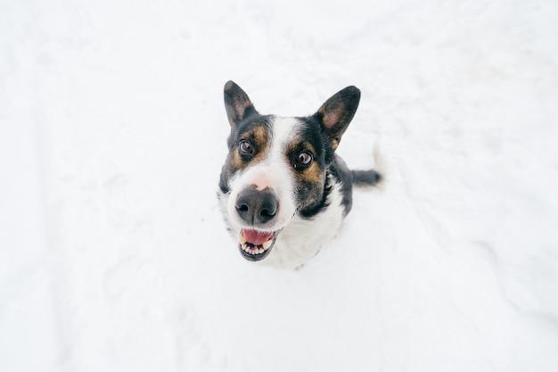 Retrato desde arriba de un amigo humano amable - fiel perro mirando a maravilla con divertido hocico sonriente. perrito encantador lindo que muestra la lengua y que espera la comida. mascota feliz en invierno de pie sobre la nieve.