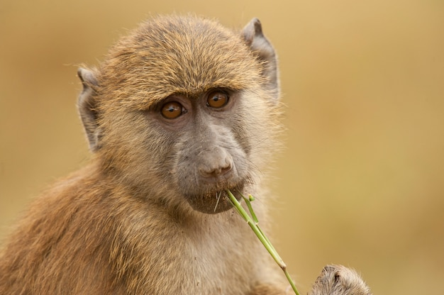Retrato de un babuino verde oliva