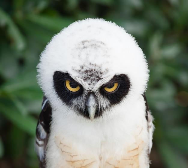 Retrato de búho de anteojos