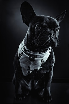 Retrato de bulldog francés, elegante imagen en blanco y negro