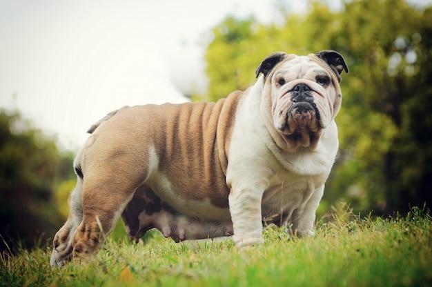 Retrato de bulldog inglés