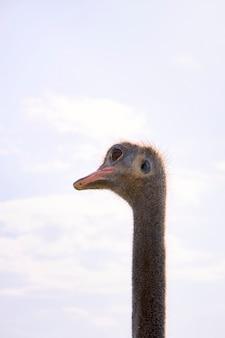 Retrato de la cabeza de un avestruz en primer plano