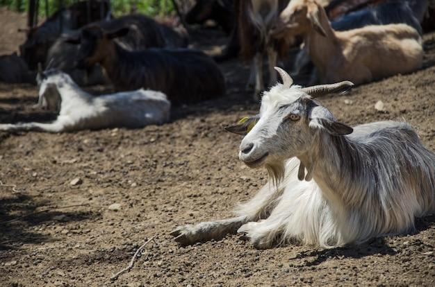 Retrato de una cabra al aire libre