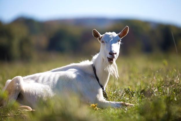 Retrato de cabra blanca con barba sobre fondo bokeh borrosa. concepto de cultivo de animales útiles.