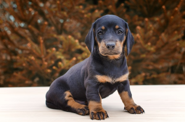 Retrato de cachorro de perro salchicha negro