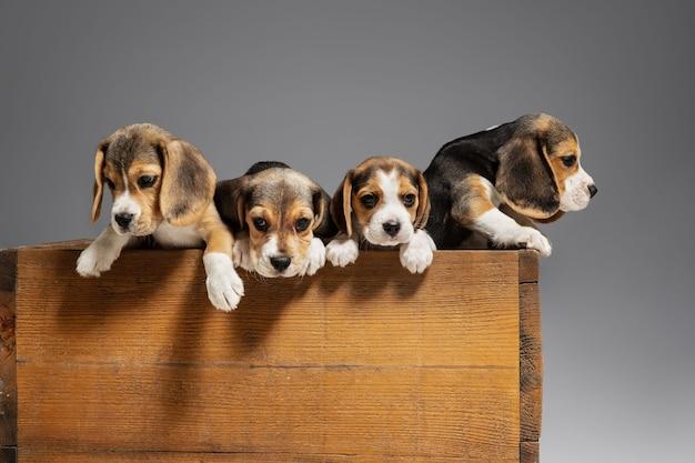 Retrato de cachorros beagle en gris