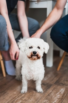 Retrato del caniche de juguete encantador blanco
