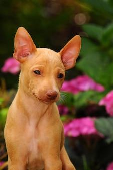 Retrato de cirneco dell etna cachorro