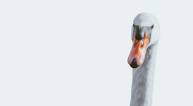 Retrato de un cisne sobre un fondo blanco. fotografía conceptual.