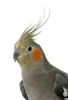 Retrato de cockatiel