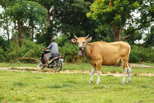 Retrato de color marrón balinés vaca pastando en un prado