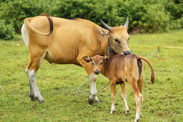 Retrato color marrón vaca pastando en un prado