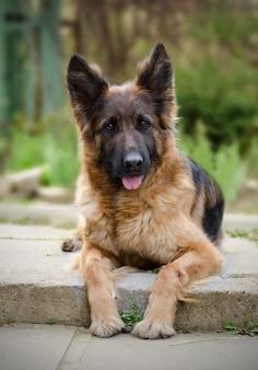Retrato de un curioso perro pastor alemán perro de pura raza tendido en un patio