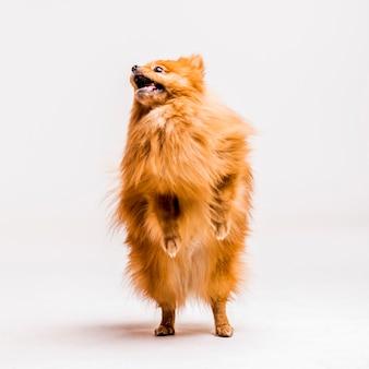 Retrato del perro de pomerania pomeranian rojo que se coloca en sus piernas traseras aisladas en el contexto blanco