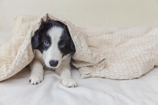 El retrato divertido del border collie smilling lindo del perro de perrito pone en la manta de la almohada en cama en casa