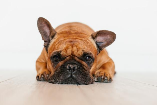Retrato del dogo francés marrón lindo en casa y. expresión divertida y juguetona. mascotas en interiores y estilo de vida