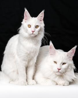 Retrato de dos gatos de pelo largo americano blanco sobre fondo blanco y negro