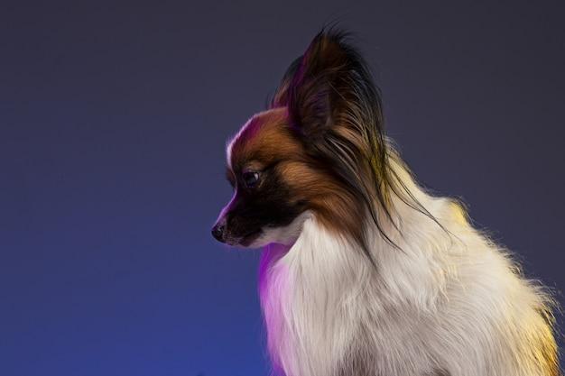 Retrato de estudio de un pequeño cachorro bostezando papillon