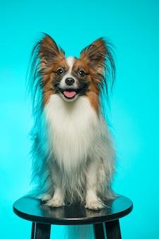 Retrato de estudio de un pequeño cachorro bostezo