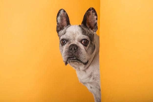 Retrato de estudio de perro asoma desde detrás de una pared sobre un fondo amarillo