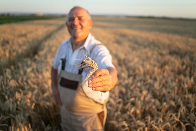 Retrato de exitoso agrónomo agricultor senior de pie en campo de trigo y sosteniendo cultivos de trigo