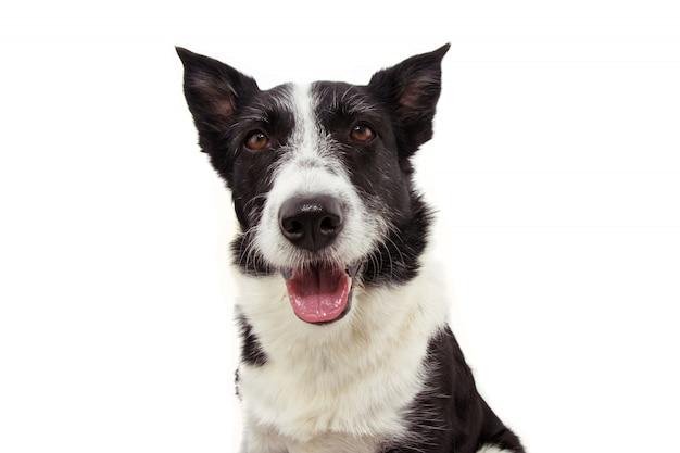 Retrato feliz border collie perro sacando la lengua aislado en blanco